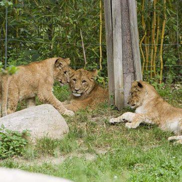 Zoo Leipzig: Namen für Löwen gesucht!