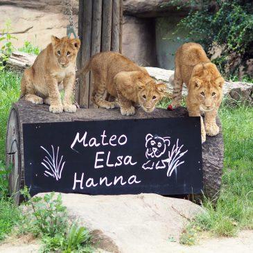 Löwentaufe im Zoo Leipzig